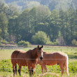 Horses in the meadow — Foto Stock