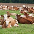 Dairy cows in pasture — Stock Photo #11782247