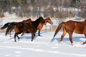 Herd of running horses — ストック写真