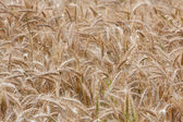 Wheat straws on a summer day in the field — Stock Photo