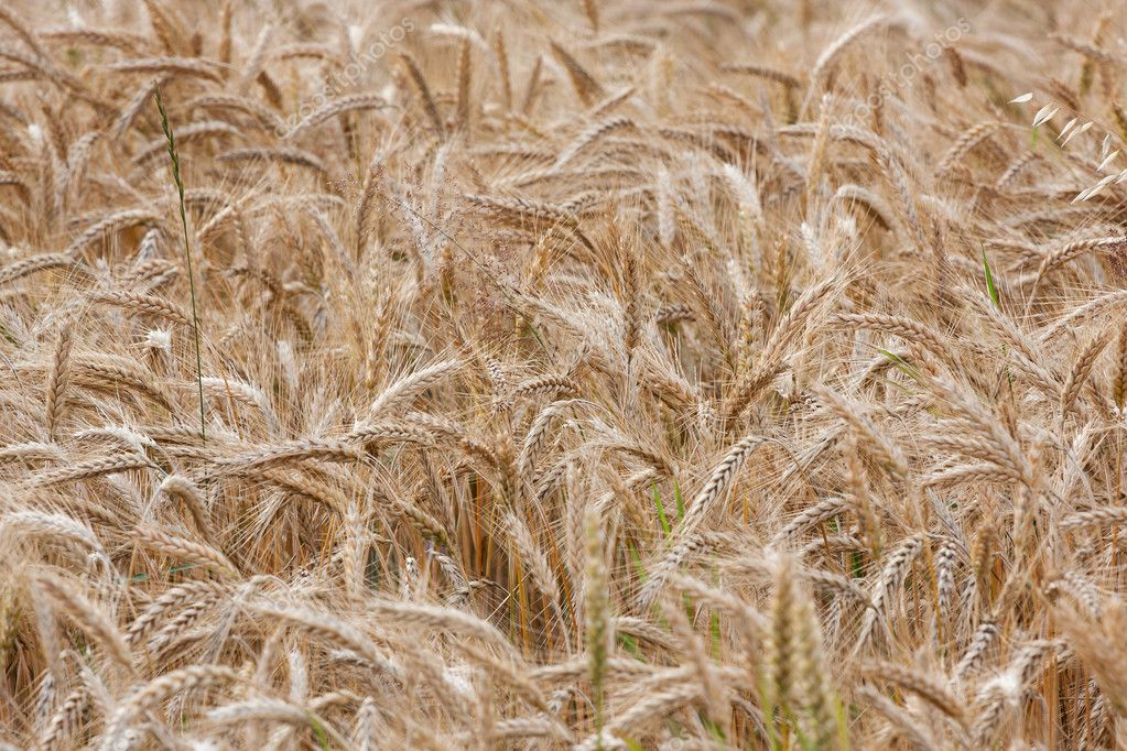Wheat straws on a summer day in the field  Stock Photo #11782343
