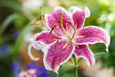 Lily pink flower — Stock Photo