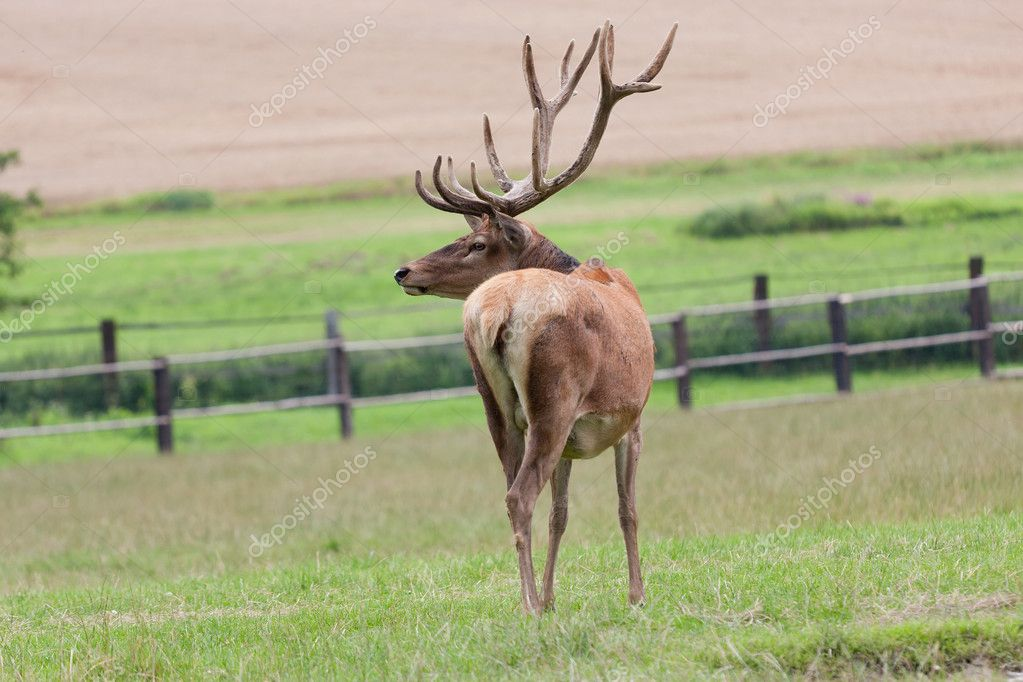 Deer grazing in the meadow — Stockfoto #12031481