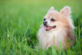 Cute Chihuahua in green grass on a summer day — Stock Photo