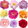 Set of 9 roses blooming — Stock Photo #11784982