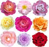 Ensemble de 9 roses en fleurs — Photo