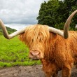 Scottish highland cattle on the meadow — Stock Photo #11862785