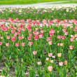 A flower bed with a beautiful pink tulips — Stock Photo