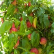 Ripe nectarines on a branch — Stock Photo