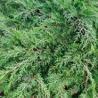 Cypress (thuya, arborvitae) background — Stock Photo