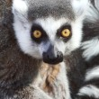Lemur Stare — Stock Photo