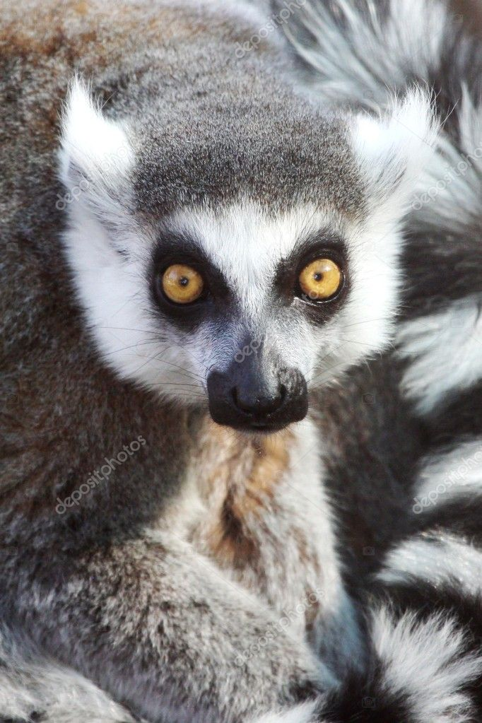 Lemur with orange eyes staring at the camera — Stock Photo #10858340
