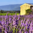Lavender in the landscape - Stock Photo
