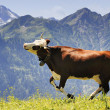 Постер, плакат: Crazy cow is jumping in the mountain