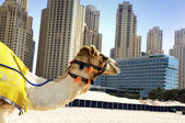 Camel in the city — Stock Photo