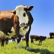 Alpine cows in summer — Stock Photo