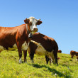 Alpine cows in summer — Stock Photo #11650111