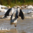 Group of pelicans - Stockfoto