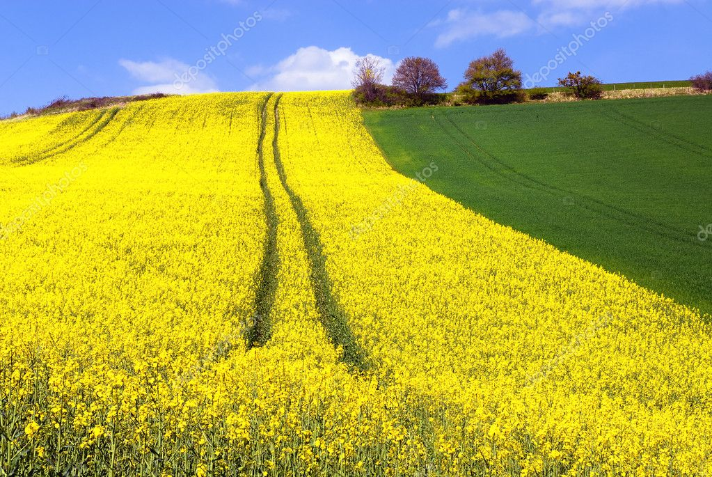 Rape field and blue sky with clouds in spring — Stock Photo #11886993
