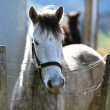 Stock Photo: Grey horse in paddock