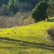 Sheep on the hillside — Stock Photo