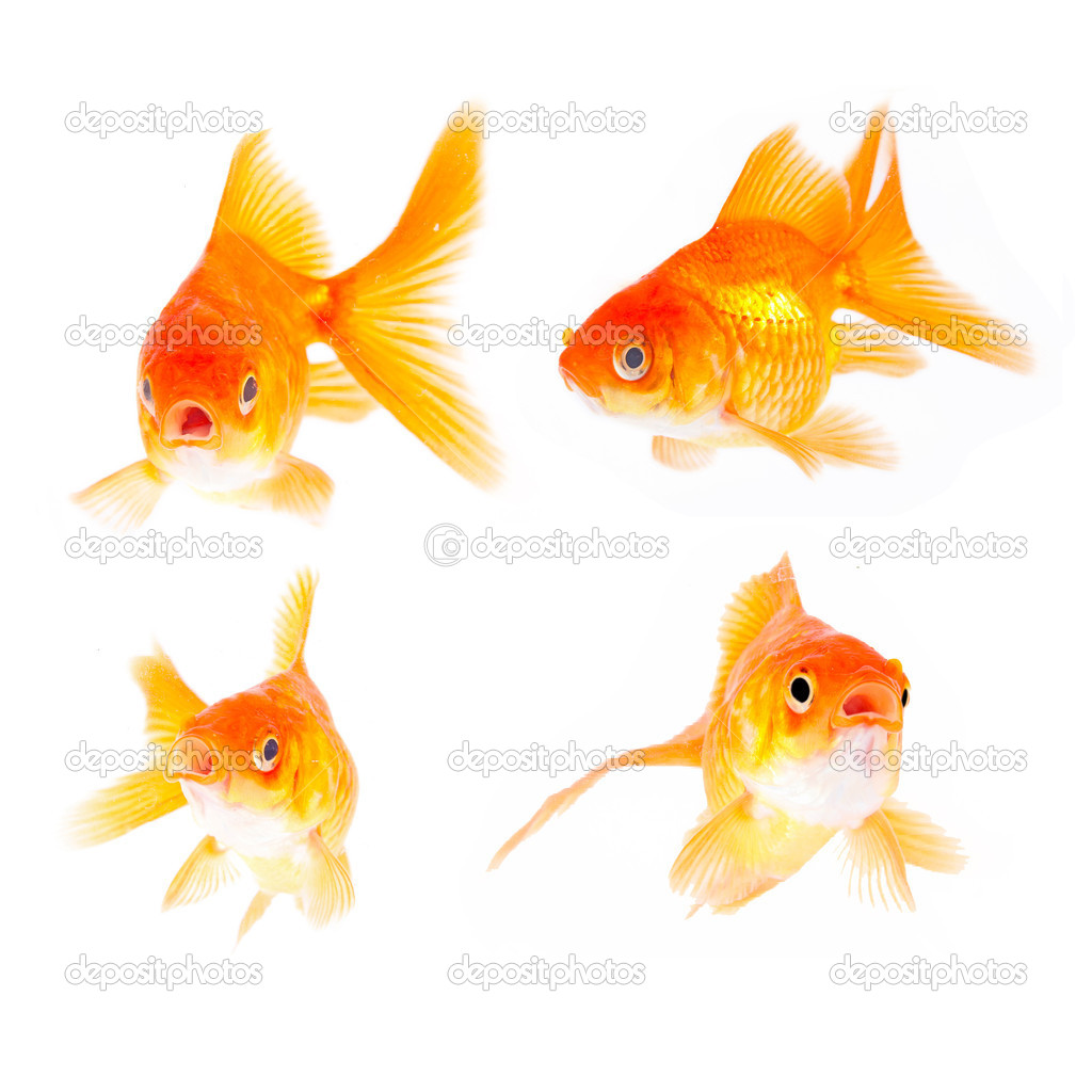 Gold fish. Isolation on the white — Stock Photo #10942191