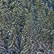 Fir trees covered with snow on a winter mountain — Stock Photo