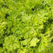 Stock Photo: Macro view of fresh green parsley leaves