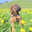 Nice puppy taken in yellow dandelions in Swiss Alps — Stock Photo