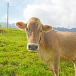 Swiss cow resting on green grass in Alps - Stock Photo