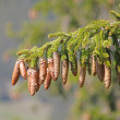 Pine tree and cones closeup — Foto Stock