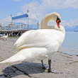 Swans in Reuss River, Luzern (focus on swans) — Stock Photo