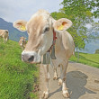 Grazing cow near EigerSwiss Alps , Switzerland — Stock Photo