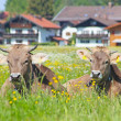 Stock Photo: Curious Cows Grazing on Pasture in Southern Bavaria, Germany