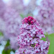 Fragrant lilac blossoms, shallow depth of field - Foto Stock