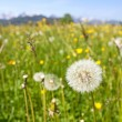 Scenic view with blossoming field of dandelions in Alps, Bavaria, Germany in spring. - Stock Photo