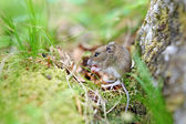 Cute wood mouse sitting on hind legs — Stock Photo