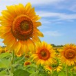 Beautiful sunflowers on the field taken in August — Stock Photo