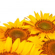 Sunflowers, isolated on white background. — Stock Photo #12036447
