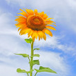 Beautiful sunflowers in the field with bright blue sky  with clouds — Stock fotografie