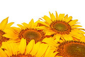 Sunflowers, isolated on a white background. — Stock Photo