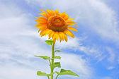 Schöne sonnenblumen im feld mit strahlend blauem himmel mit wolken — Stockfoto