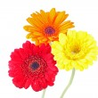 Orange, red and yellow gerbera daisy covered with dew drops on isolated white background. — Stock Photo