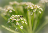 Summer field flower ( Heracleum) — Stock Photo