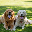 Stock Photo: Two lovely dogs on a green field