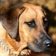 Rhodesian ridgeback dog — Stock Photo #11389828
