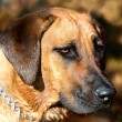 Rhodesian ridgeback dog — Stock Photo