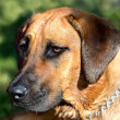 Rhodesian ridgeback dog — Stock Photo #11389830
