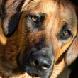 Rhodesian ridgeback dog — Stock Photo #11389834