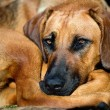 Rhodesian ridgeback dog — Stock Photo #11389838